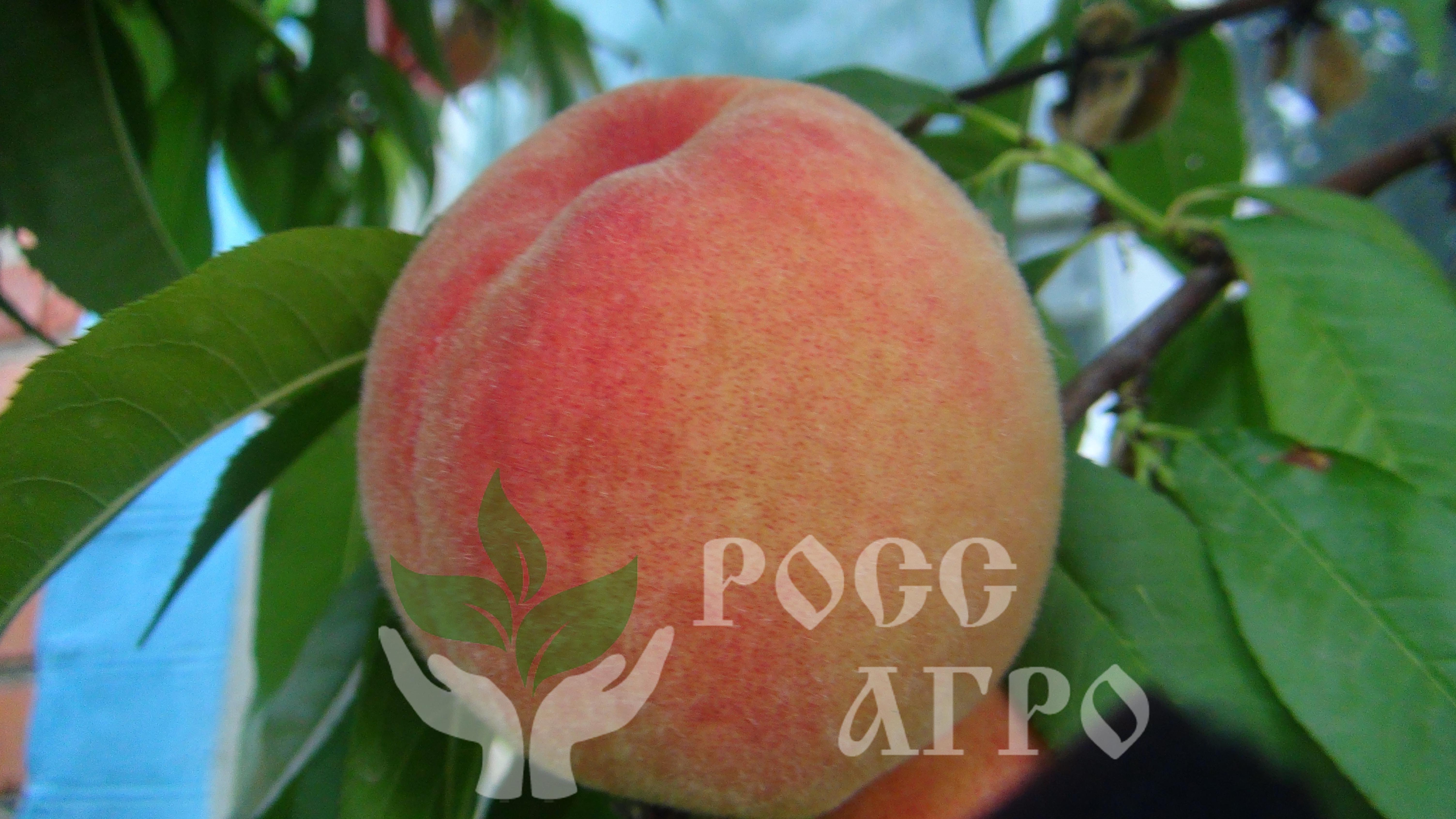 Персики рассада продажа 1