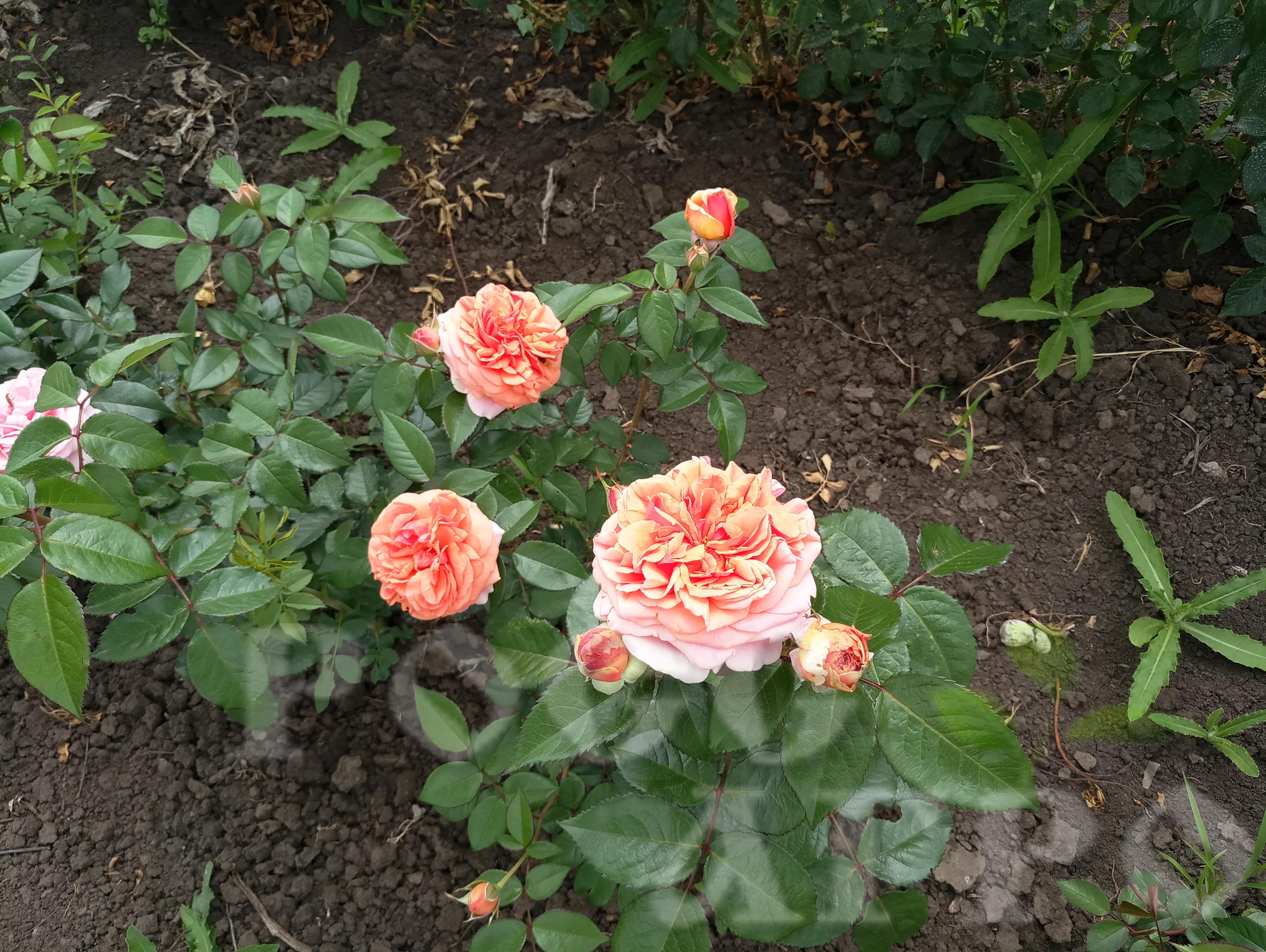 роза чип и дейл фото и описание отзывы