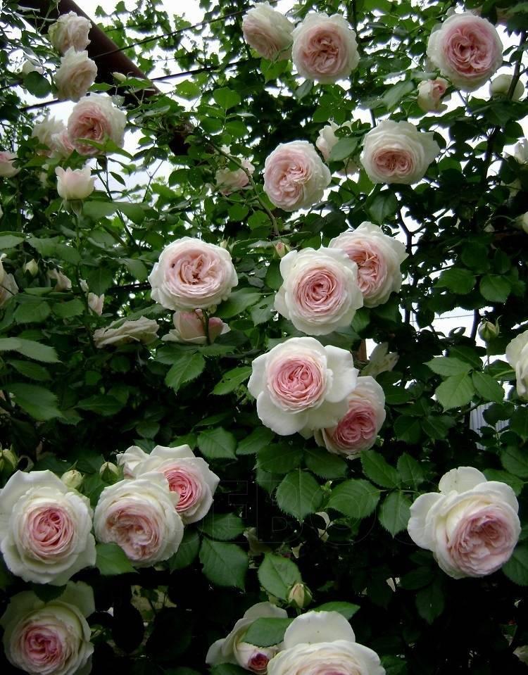 роза пьер де ронсар с кем посадить